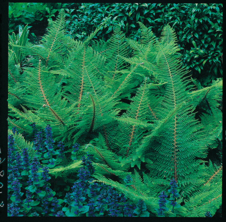 (Soft Shield Fern)