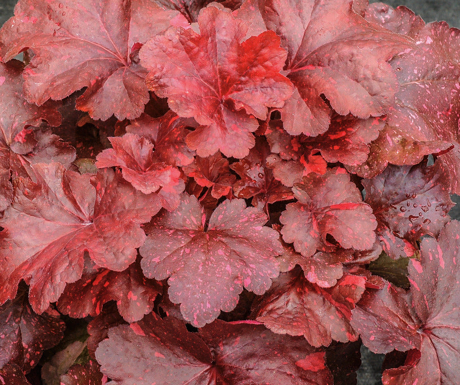 red leathery foliage