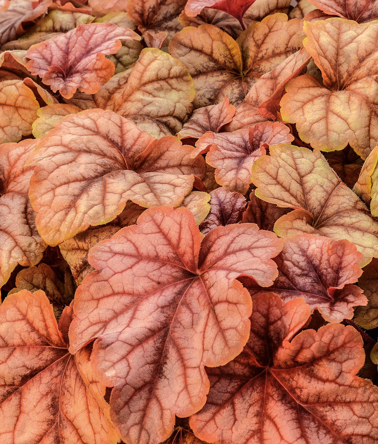 copper-gold foliage