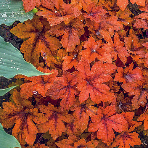 bronze red leaves