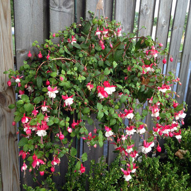 Fuschia Hanging Basket - Attract Hummingbirds!