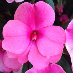 Impatiens Hanging Basket
