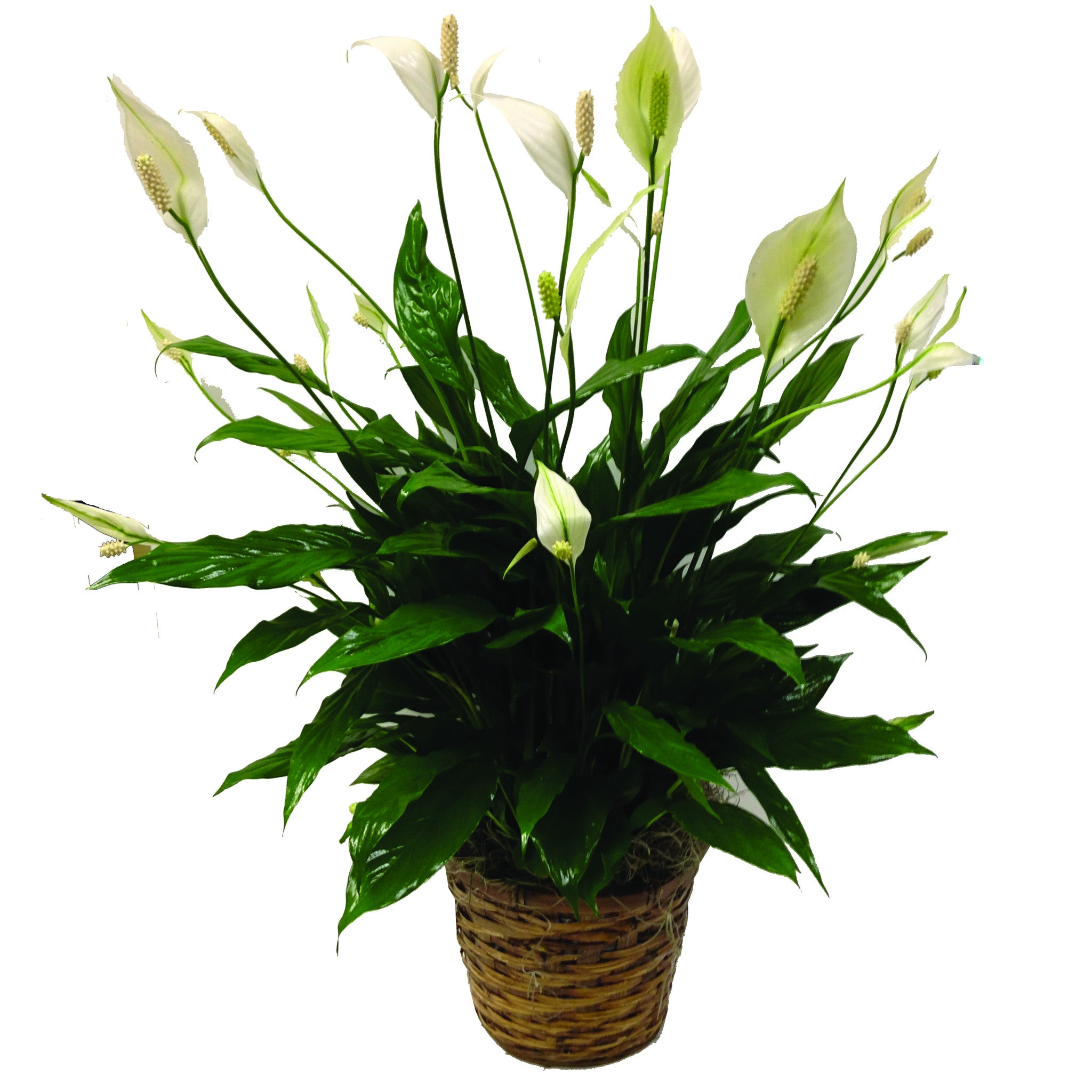 Peace Lily Plant For Delivery Buffalo Ny Lipinoga Florist