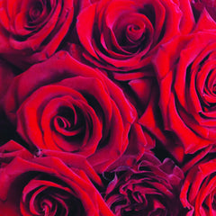 Four Dozen Longstem Roses Arranged (choose your own rose color)