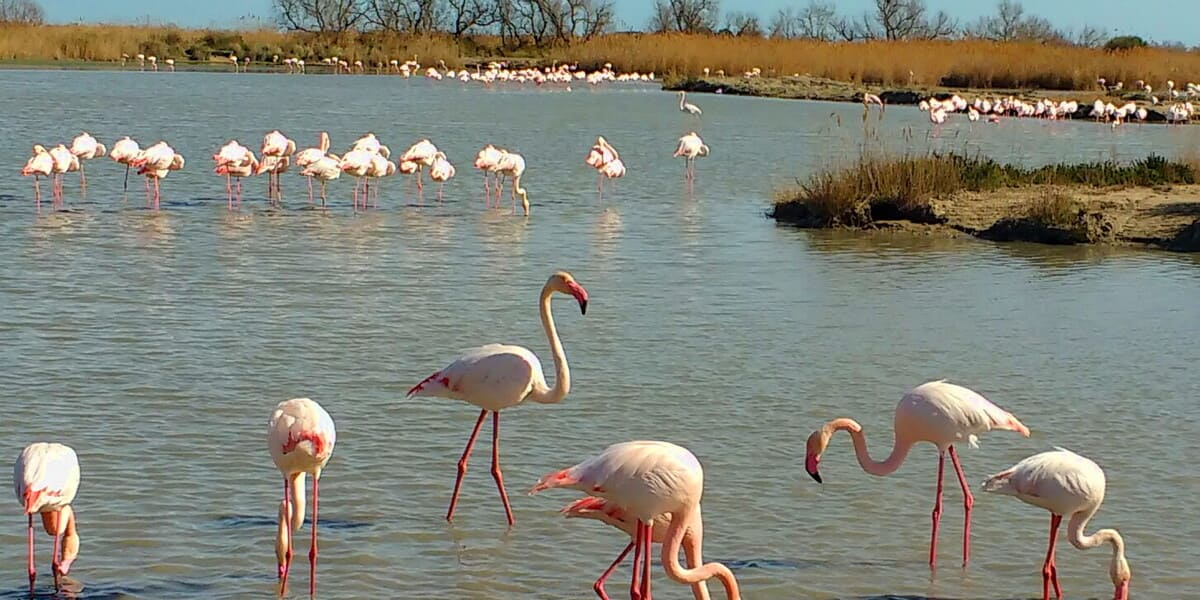 Flamants roses plage Camargue