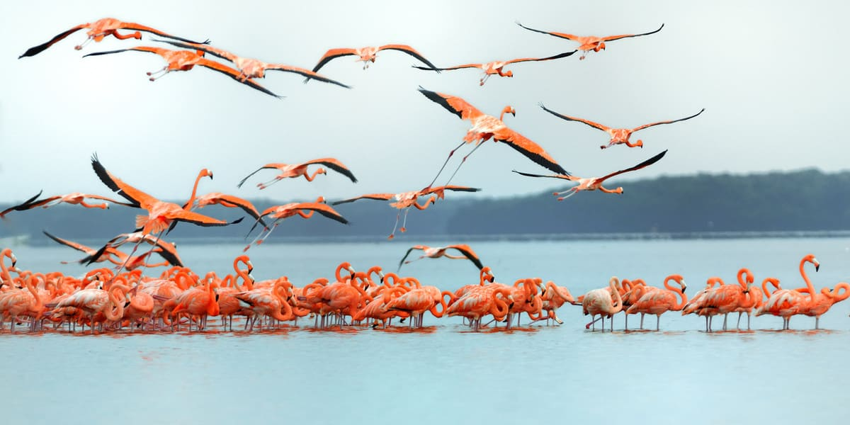Flamants roses plage Celestun- Mexique