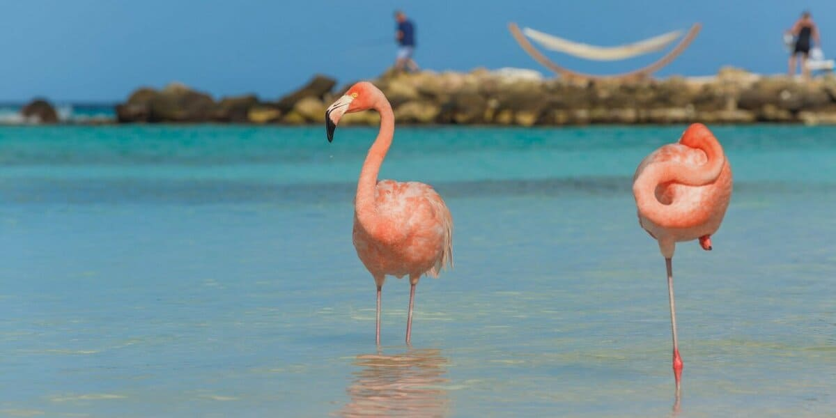 Flamants roses plage Caraïbes