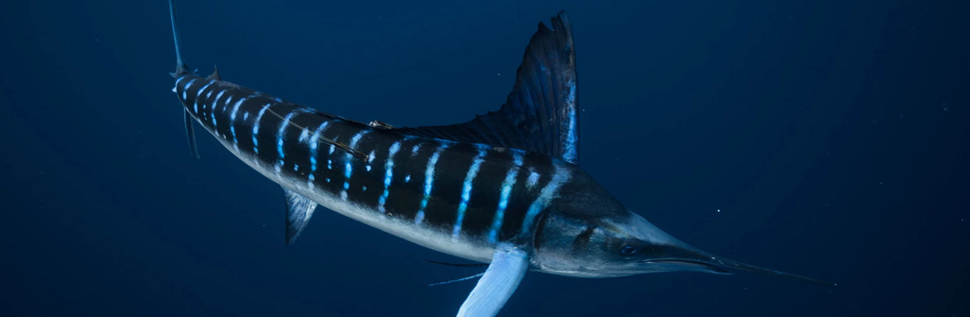 Reel Sportswear | Tagged Striped Marlin