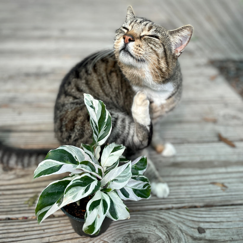 Pet-Friendly Houseplants