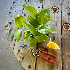 pothos with yellow leaves pruned
