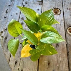 golden pothos with yellow leaves