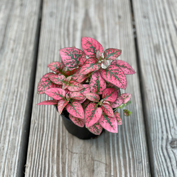 "Polka-Dot Plant Red - 4"" Pot"