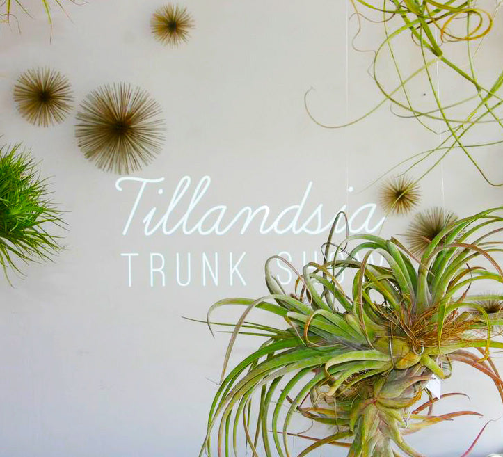Tillandsia Trunk Show