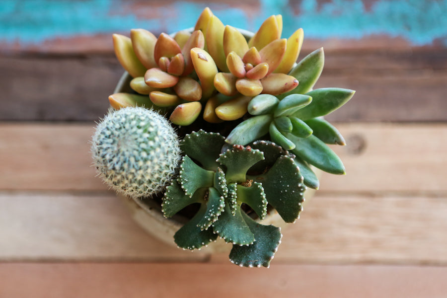 Succulents and Cacti at Pigment