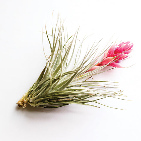 Tillandsia Houston Cotton Candy