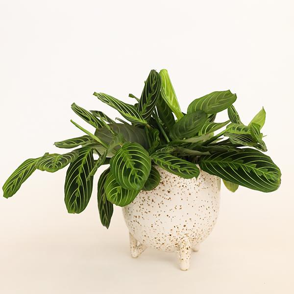 Maranta Prayer Plant, Lemon Lime - 6 inch - Pigment