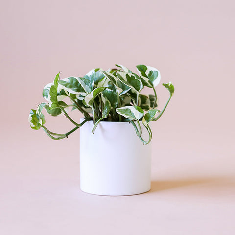 Pothos Pearl and Jade - 4 inch