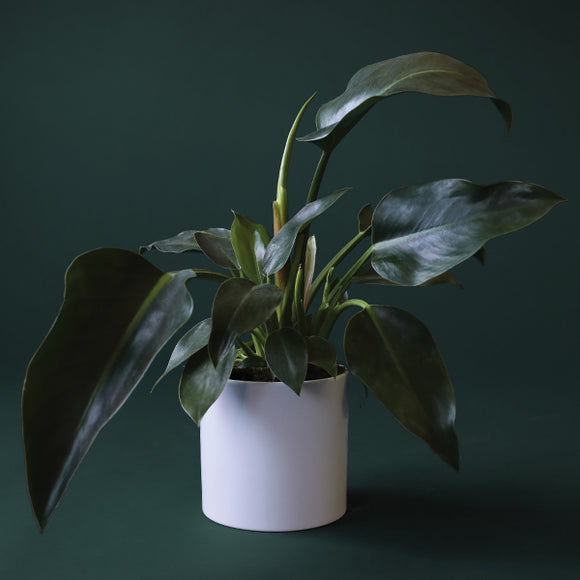 Philodendron Congo - 6 inch