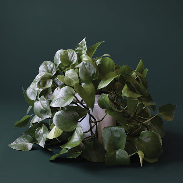 6in Pothos Green - Pigment