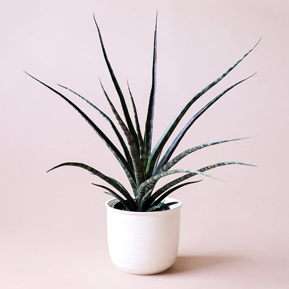 Sanseveria Cylindrica - 6 inch