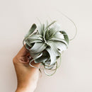 Subscription : Airplants - 12 Month
