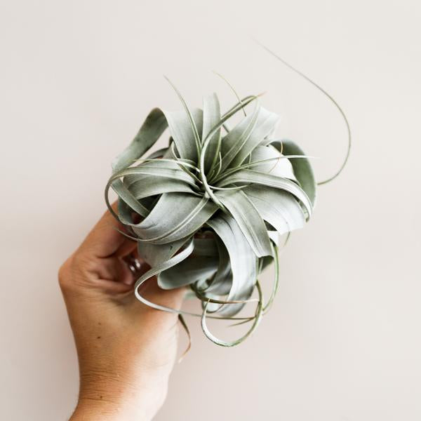 Subscription : Airplants