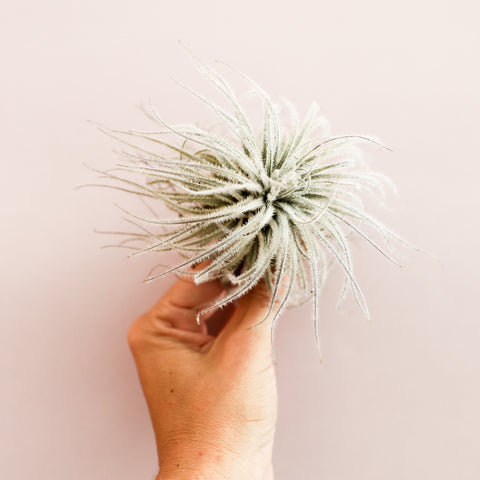 Tillandsia Tectorum Small