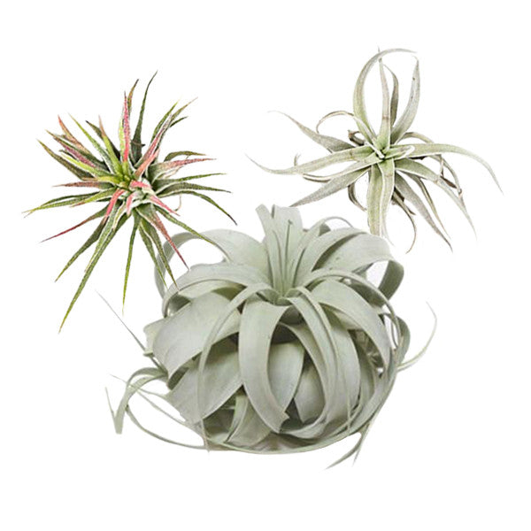 Air Plant Starter Pack - Pigment