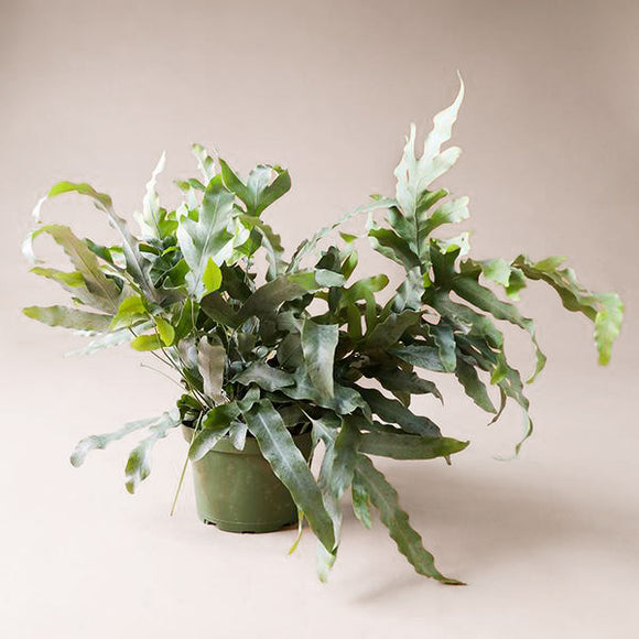 Blue Star Fern - 6 inch - Pigment