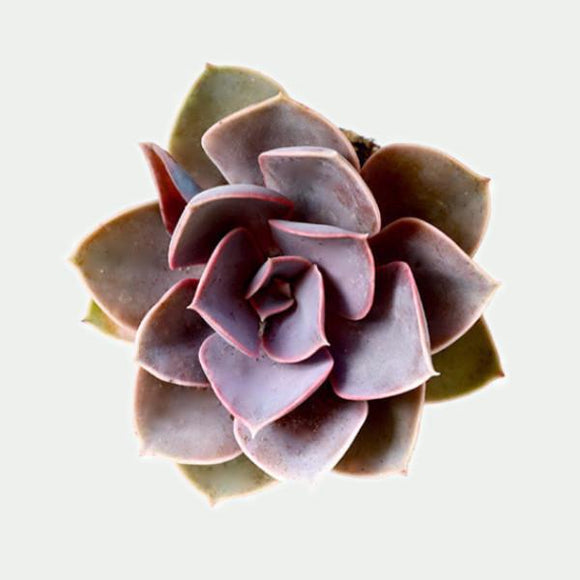 Subscription : 2.5 inch Desert Plant