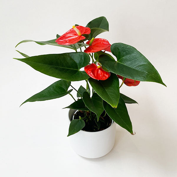 Anthurium 'Solara' Red