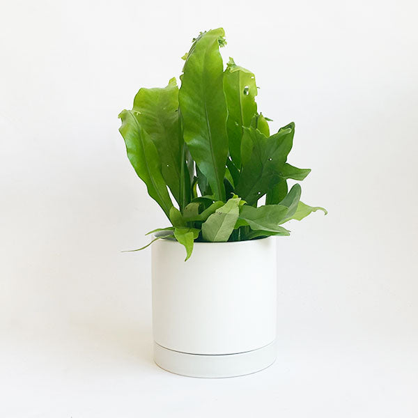 Birds Nest Fern Green Flame
