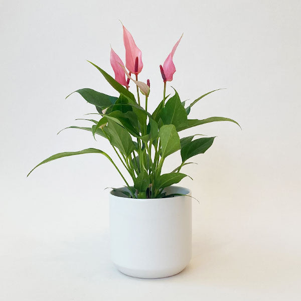 Anthurium 'Lilli' Light Pink