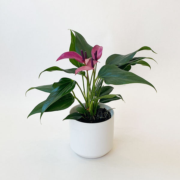 Anthurium 'Zizou' Purple