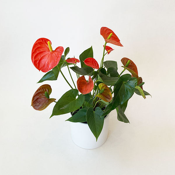 Anthurium Sierra Orange