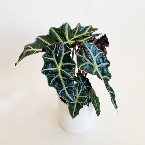 Alocasia Polly | African Mask