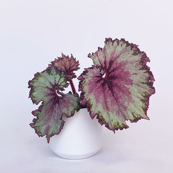 Rex Begonia - Seattle Twist