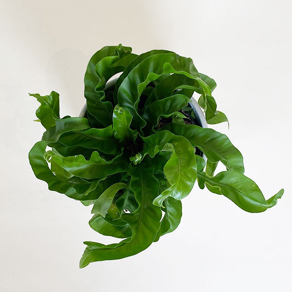 Hurricane Birds Nest Fern