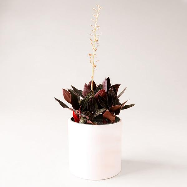 Jewel Orchid - 6 inch