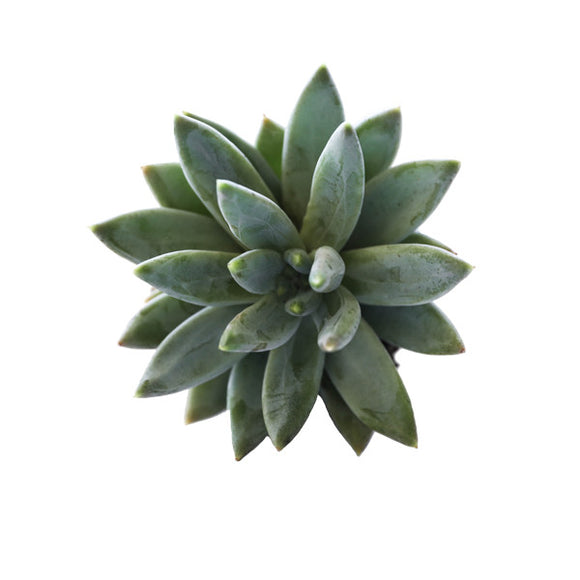 "Little Jewel - 2.5"" Succulent"