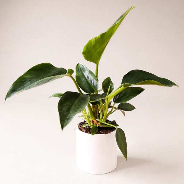 Philodendron Congo - 6 inch - Pigment