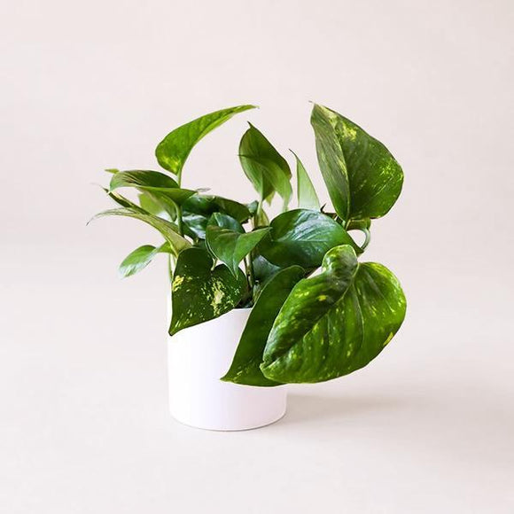 Variegated Green Pothos