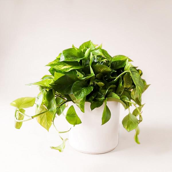 Variegated Green Pothos - 6 inch - Pigment