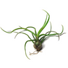 Tillandsia Bulbosa