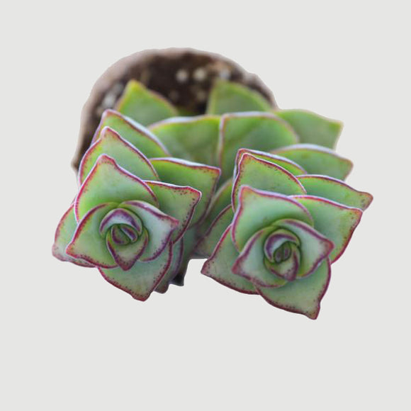 "String of Buttons - 2.5"" Succulent"