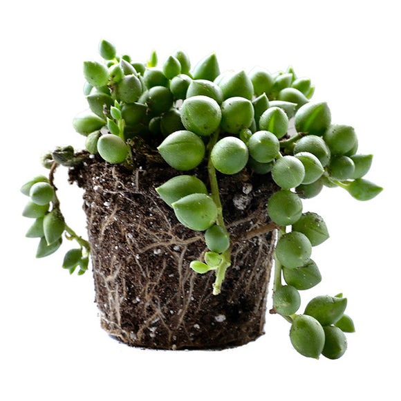 "String of Pearls - 2.5"" Succulent"