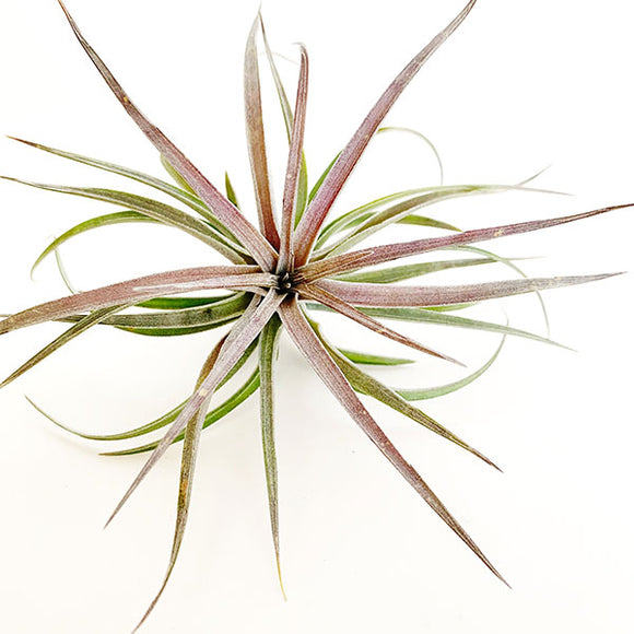 Tillandsia Aeranthos Purple