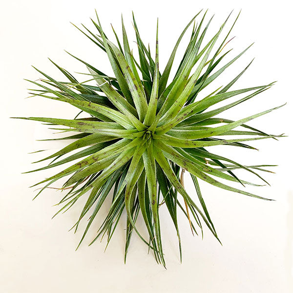 Tillandsia Houston Green Compact