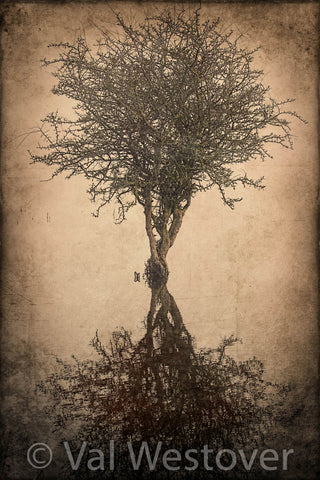 Wall Art - A Black Thorn Tree in Ireland standing in a pond