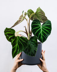 Green Nursery Decorating: Crib Sheets + Plants to Avoid - Philodendron
